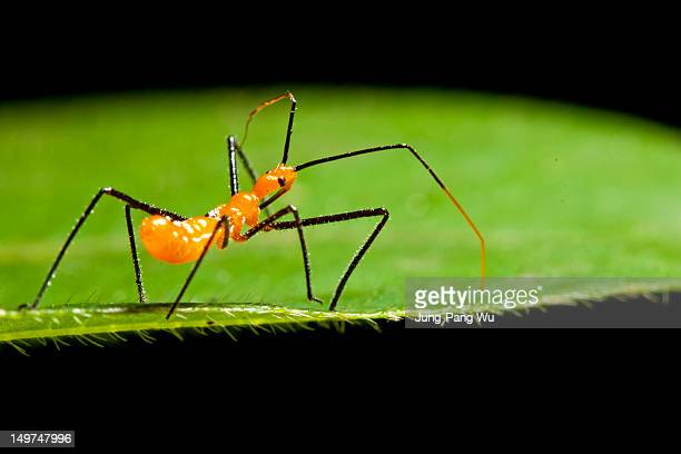 immature assassin bug - kissing bug stock photos and pictures