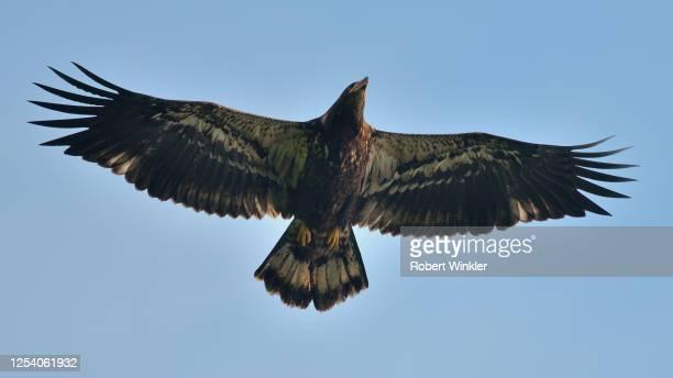 翼を広げた未熟なハゲワシ - 翼を広げる ストックフォトと画像