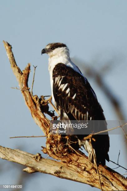 immature black-chested snake-eagle - black chested snake eagle stock pictures, royalty-free photos & images