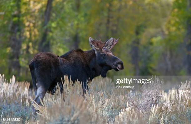 Immature Bull Moose (Alces alces) with Developing Antlers, Grand Teton