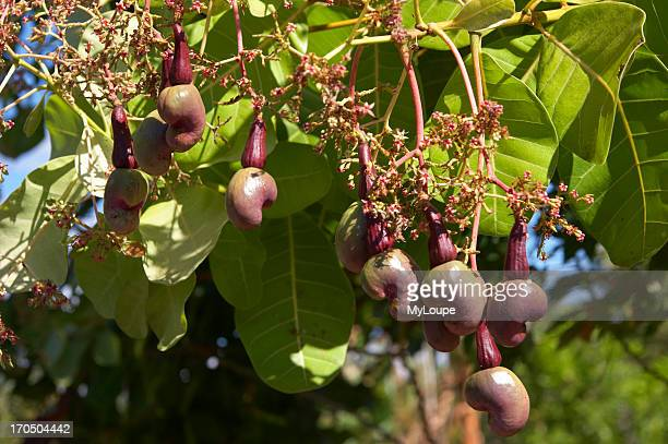 Immature cashew apples on the tree