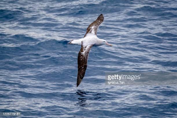 immature wandering albatross (diomedea exulans) in flight. - albatros stock-fotos und bilder