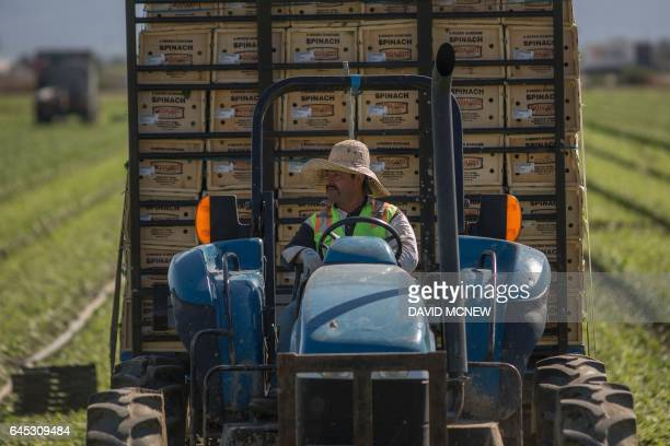 Immigrant farm workers harvest spinach field as US President Donald Trump takes steps to drastically increase deportations on February 24 2017 near...