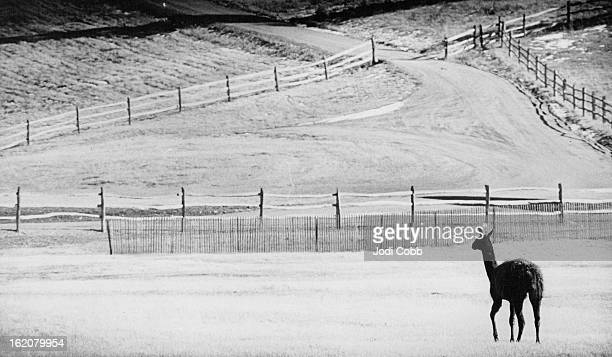 Immigrant In Colorado Hills; A Llama grazes in a field by Upper Bear Creek Road, Evergreen, Sunday. The native of the South American Andes is being...