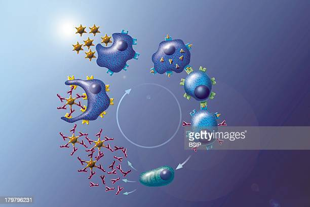 Immunity Drawing Contact With A Foreign Bacterial Agent Triggers Specialized Cells To Synthesize And Release Antibodies These YShaped Antibodies...