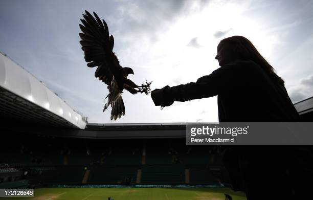 Imogen Davies catches Rufus a Harris hawk in the stands above Centre Court at the Wimbledon Lawn Tennis Championships on July 1 2013 in London...