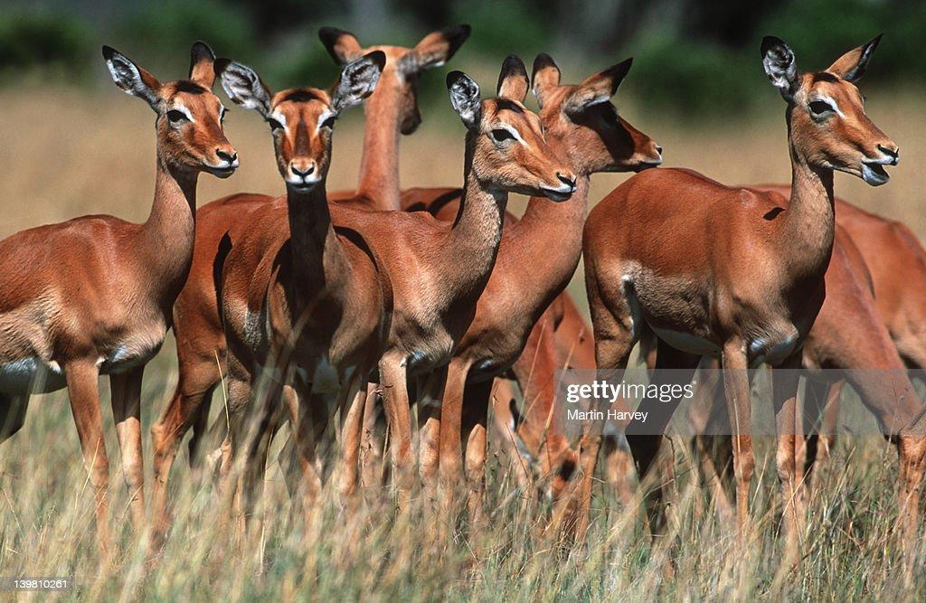 Impala, Aepyceros melampus, herd on Mara plains, Maasai Mara National Park, Kenya Southern & Eastern Africa. : Stock-Foto