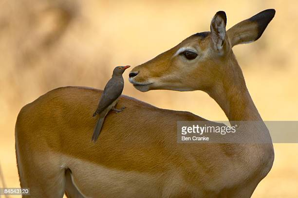 impala and red-billed oxpecker, ruaha np, tanzania - symbiotic relationship stock pictures, royalty-free photos & images