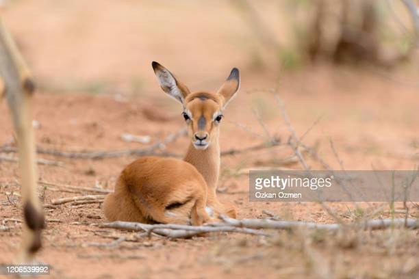 impala calf in the wilderness of africa - biche photos et images de collection