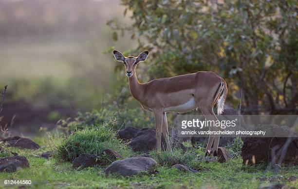 Impala female.