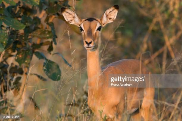 impala female, savuti, chobe national park, botswana - franz aberham stock photos and pictures