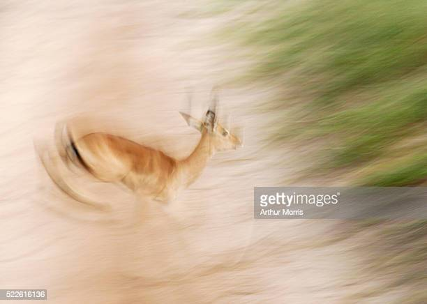 Impala in Motion