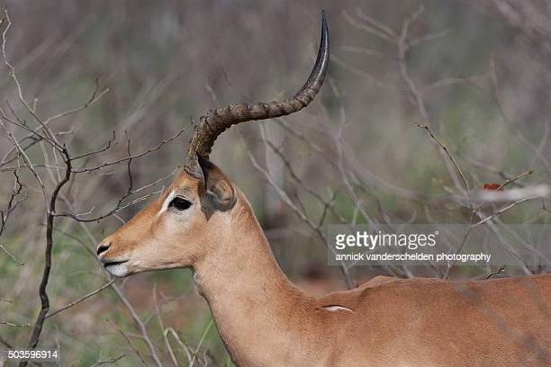 Impala in wilderness area