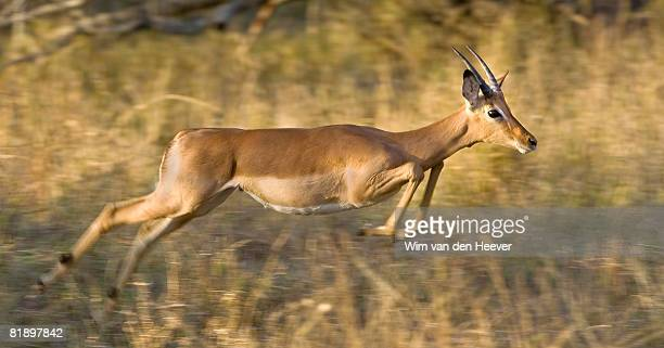 Impala jumping, Greater Kruger National Park, South Africa