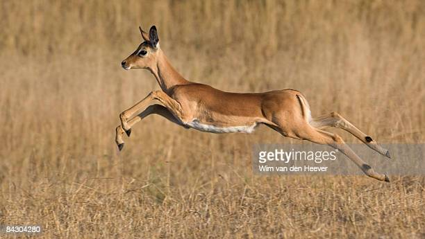 Impala jumping in grass