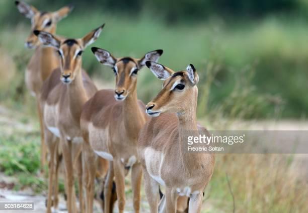 Impala Kruger National Park on April 16 2017 in South Africa