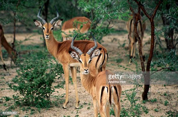 impala, kruger national park, south africa - kruger national park stock pictures, royalty-free photos & images