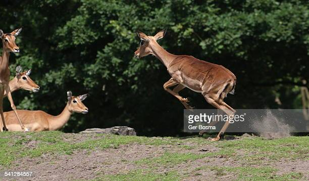 impala leap of faith - running deer shooting stock pictures, royalty-free photos & images