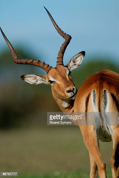 Impala (Aepyceros melampus) looking over shoulder, South Africa