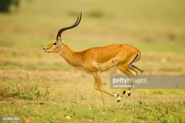 impala male running - 動物の雄 ストックフォトと画像