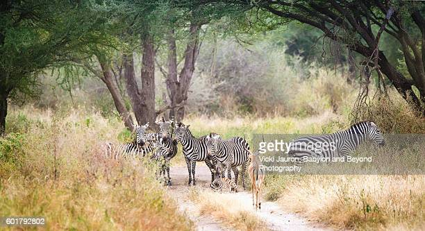 impala meet up with the zebra - tarangire national park stock pictures, royalty-free photos & images
