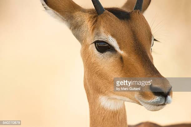 impala, ngorongoro crater, tanzania - tarangire national park stock pictures, royalty-free photos & images