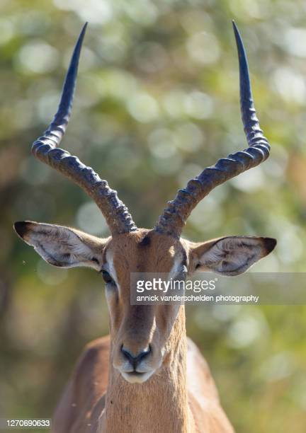 impala - mpumalanga province stock pictures, royalty-free photos & images