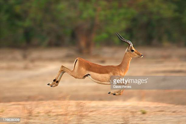 Impala running, Mana Pools National Park, Zimbabwe, Africa