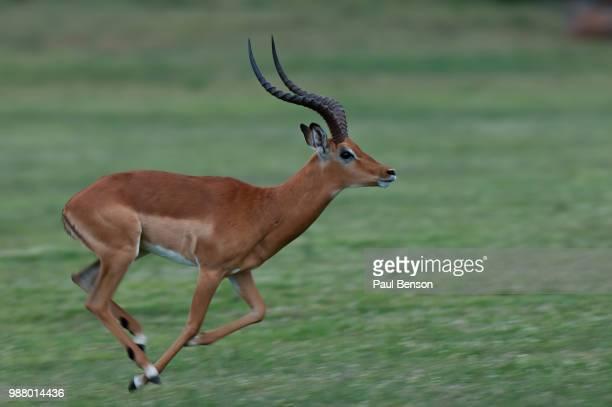 impala running - 動物の雄 ストックフォトと画像