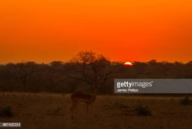 impala sunrise - springbok deer stock photos and pictures