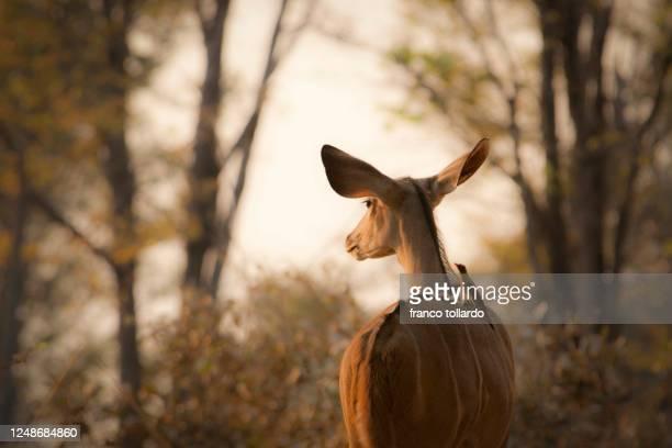 impala with a bird friend at sunset - tribus africanas fotografías e imágenes de stock