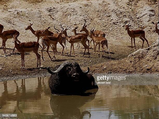 Impala-Antilopen - Krüger National ParkRepublik Südafrika- 1993