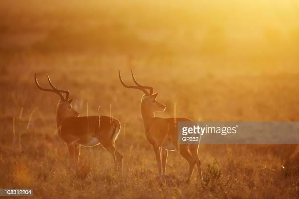 Impalas at dawn