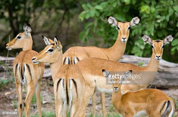 impalas, kruger national park, south africa - young animal stock pictures, royalty-free photos & images