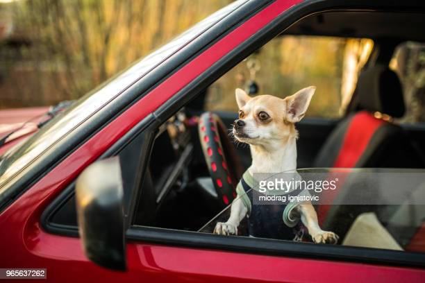 impatient chihuahua dog - seeing eye dog stock photos and pictures