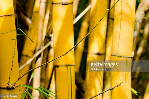 imperial bamboo. - crmacedonio stock photos and pictures