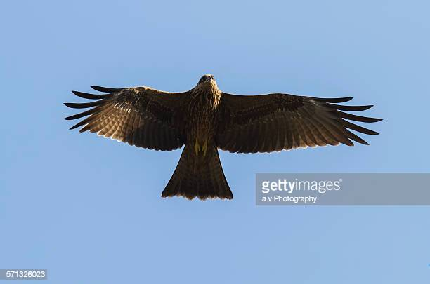 imperial eagle in flight. - andre vogelaere stock pictures, royalty-free photos & images