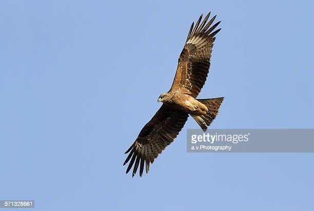 imperial eagle in flight with spread wings. - andre vogelaere stock pictures, royalty-free photos & images