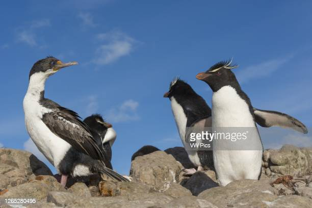 Imperial shag and Rockhopper penguin , Pebble Island, Falkland Islands.