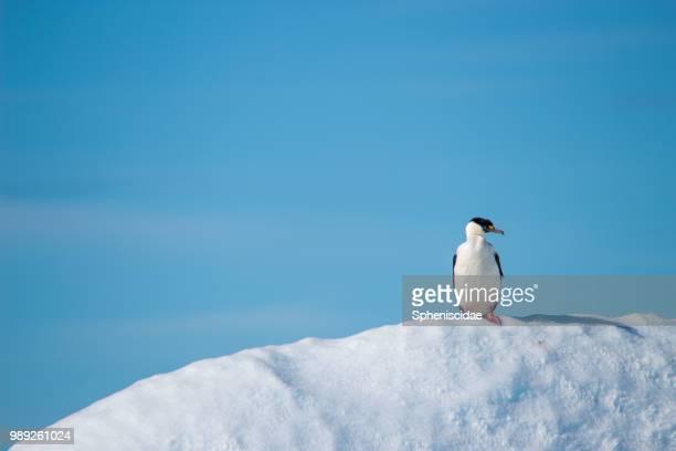 Imperial shag (Phalacrocorax atriceps) on snow hill, Antarctica