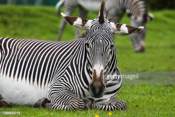 imperial zebra resting on the grass - wildlife stock pictures, royalty-free photos & images
