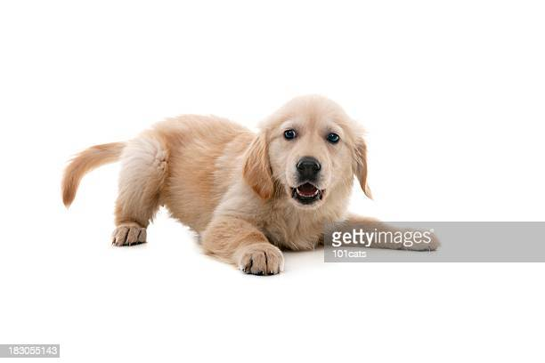 impish dog - golden retriever stock pictures, royalty-free photos & images
