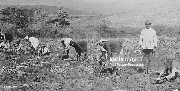 Imported Indian workers plant sugar cane at a plantation in Natal South Africa circa 1910