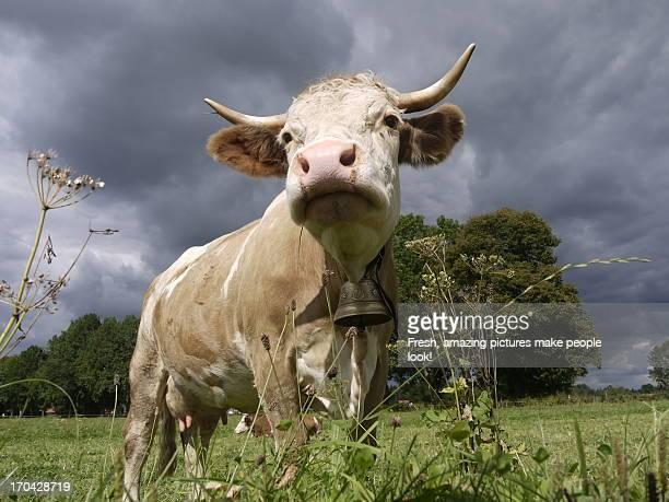 Imposing Cow in the Field against Dark Sky