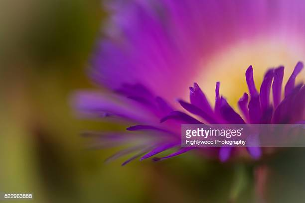 Impressions of the Violet Petals of the Ice Plant