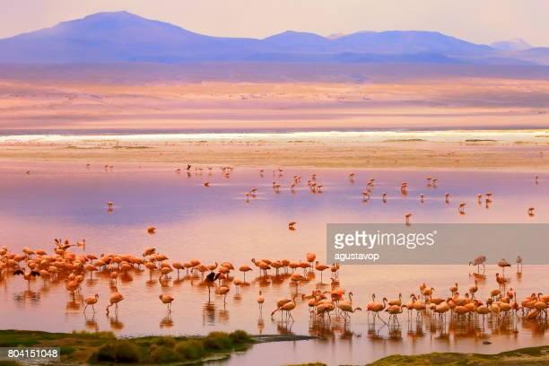 Impressionnante Laguna colorada - reflet du lac rouge, oiseaux flamant des Andes et désert d'Atacama idyllique Altiplano, panorama paysage volcanique – région de Potosi, Andes boliviennes, Bolívia