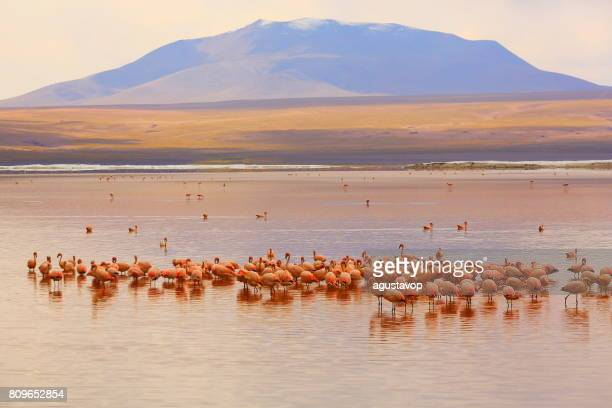 impressive laguna colorada - red lake reflection, andean flamingos birds and idyllic altiplano atacama desert, volcanic landscape panorama – potosi region, bolivian andes, bolívia - bolivia foto e immagini stock