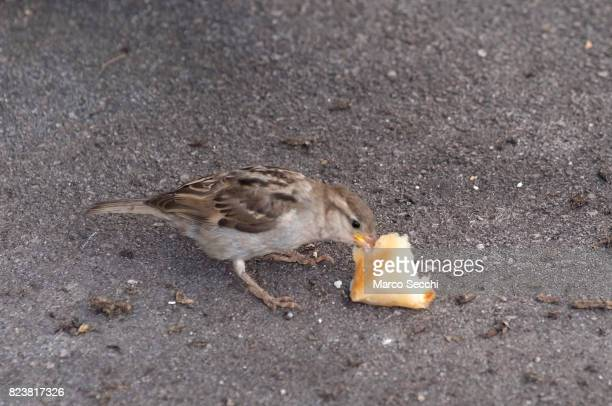 In a fast sequence of events a pigeon throws a piece of bread in the air to break it in smaller parts and then a sparrow flies in and steals the...