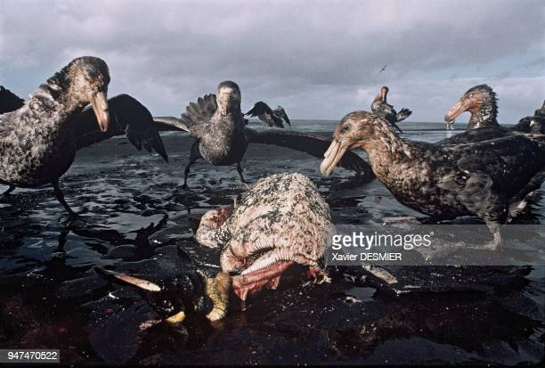 In a fight over food the giant petrel dominates With his 2m wide wingspread the giant petrel is an impressive gravedigger He is very comfortable in...