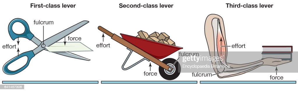Fine First Class Levers Model Anatomy And Physiology Biology